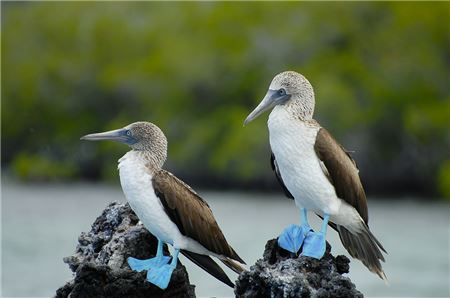 Seven Ways to Dance with Blue-Footed Boobies in the Galápagos